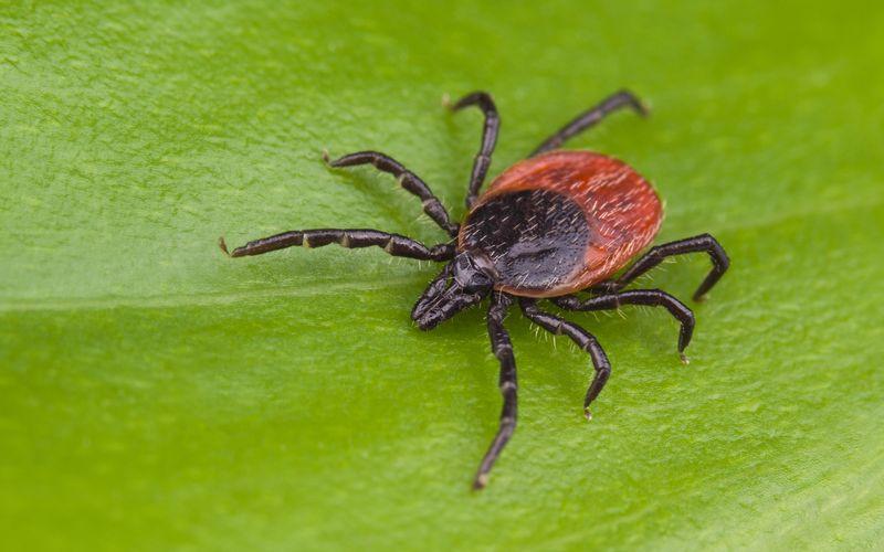 Kleine Spinnentiere, die uns das Leben schwer machen: Zecken. Nicht nur, dass ihr Stich zu lokalen Entzündungen führen kann, auch Krankheiten werden durch Zecken übertragen. Um das zu vermeiden, sollten Sie Vorsichtsmaßnahmen treffen, um gar nicht erst gestochen zu werden. Natürlich gibt es keinen garantierten Schutz - außer Sie verlassen gar nicht mehr das Haus. Aber das muss nicht sein ...