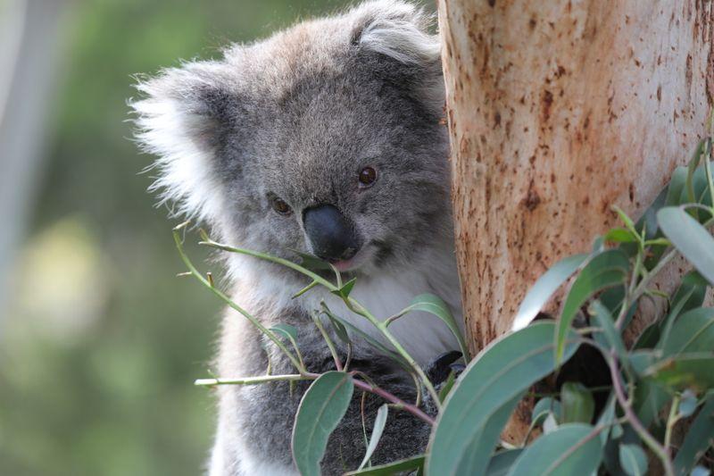 Putziger, aber bedrohter Bewohner Australiens: Der Koala ernährt sich fast ausschließlich von Eukalytus-Blättern - und muss sehr viel von dieser nährstoffarmen Kost essen. Blöderweise ist sie durch den Klimawandel noch mal deutlich weniger nahrhaft geworden.