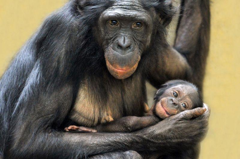 Wissenschaftliche Erkenntnisse lassen vermuten, dass Bonobos der Urform von Mensch und Menschenaffe am ähnlichsten sind.