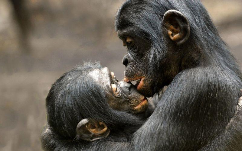 Liebe und Zuneigung kennen nicht nur Menschen. Hier versöhnen sich zwei Bonobos nach einem Streit.