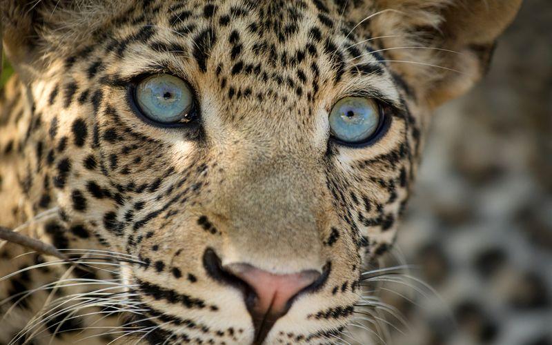 Leoparden sind die viertgrößte Großkatzenart der Welt.